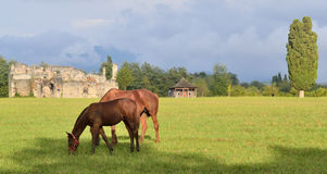 Άλογα που βόσκουν στο λιβάδι Στοκ Φωτογραφία