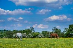 Άλογα που βόσκουν στο πάρκο χώρας κοιλάδων Woodgate Στοκ φωτογραφία με δικαίωμα ελεύθερης χρήσης