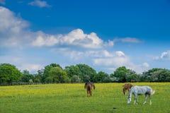 Άλογα που βόσκουν στο πάρκο χώρας κοιλάδων Woodgate Στοκ Φωτογραφίες