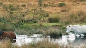 Άλογα που διασχίζουν έναν ποταμό απόθεμα βίντεο