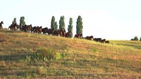 Άλογα που οργανώνονται στο χλοώδες λιβάδι απόθεμα βίντεο