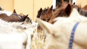 Άλογα που ταΐζουν το βίντεο outofdoors κοντά επάνω φιλμ μικρού μήκους