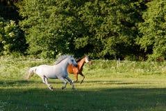 Άλογα που τρέχουν την άνοιξη το λιβάδι λιβαδιού Στοκ Φωτογραφίες
