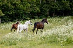Άλογα που τρέχουν την άνοιξη το λιβάδι λιβαδιού Στοκ φωτογραφία με δικαίωμα ελεύθερης χρήσης