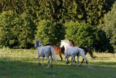 Άλογα που τρέχουν την άνοιξη το λιβάδι λιβαδιού Στοκ φωτογραφίες με δικαίωμα ελεύθερης χρήσης