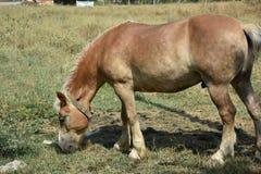 Άλογα που τρώνε τη χλόη Στοκ Φωτογραφία