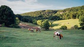 Άλογα σε έναν πράσινο τομέα με το βουνό και ο πιό forrest Στοκ φωτογραφίες με δικαίωμα ελεύθερης χρήσης