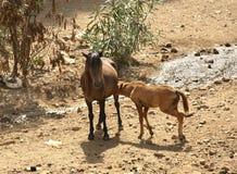 Άλογα σε Arbatax Σαρδηνία Ιταλία Στοκ Φωτογραφίες