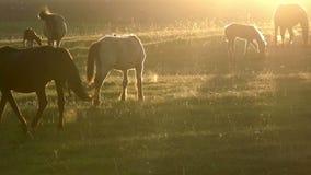 Άλογα στα ξημερώματα απόθεμα βίντεο