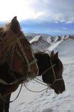 Άλογα στα χιονώδη βουνά Τα κεφάλια των αλόγων Στοκ Εικόνες