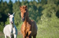 Άλογα στην ελευθερία στο δάσος Στοκ Εικόνες