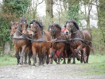 Άλογα στην ομαδική εργασία λουριών Στοκ Εικόνες