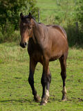 Άλογα στη Γερμανία Στοκ φωτογραφίες με δικαίωμα ελεύθερης χρήσης