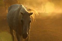 Άλογα στη σκόνη Στοκ Φωτογραφία