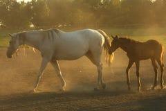 Άλογα στη σκόνη Στοκ φωτογραφίες με δικαίωμα ελεύθερης χρήσης