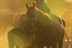Άλογα στη σκόνη Στοκ εικόνες με δικαίωμα ελεύθερης χρήσης