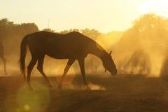 Άλογα στη σκόνη Στοκ Εικόνα