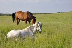 Άλογα στη χλόη. Στοκ Εικόνες
