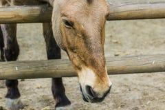 Άλογα στο αγρόκτημα, που εξετάζει το άλογο Στοκ Εικόνα