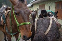 Άλογα στο Κασμίρ Στοκ Εικόνες
