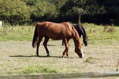Άλογα στο πεδίο Στοκ Εικόνα