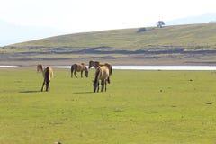 Άλογα στο πράσινο λιβάδι το καλοκαίρι Στοκ Φωτογραφίες