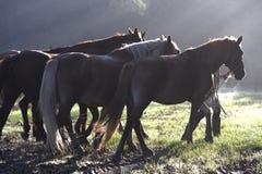 Άλογα στο φως νύχτας Στοκ Εικόνες