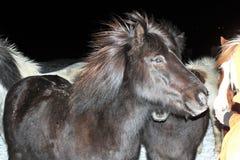 Άλογα στο akureyri Στοκ Φωτογραφίες