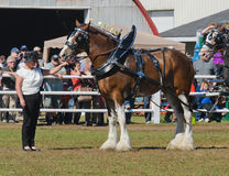 Άλογα σχεδίων Clydesdale στην έκθεση χώρας στοκ φωτογραφία