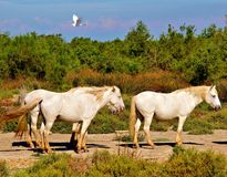 Άλογα της Γαλλίας Camargue στην παραλία Στοκ Εικόνες