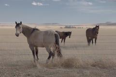Άλογα των πεδιάδων Στοκ Εικόνες