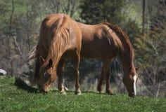 άλογα δύο κάστανων Στοκ φωτογραφίες με δικαίωμα ελεύθερης χρήσης