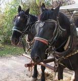 άλογα δύο Στοκ Εικόνες