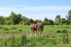 άλογα δύο Στοκ Εικόνα
