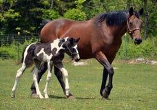 Άλογα 226 Στοκ Φωτογραφία