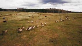 Άλογα απόθεμα βίντεο