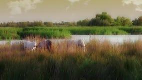 Άλογα Camargue απόθεμα βίντεο