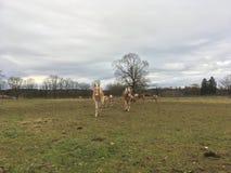 Άλογα Haflinger Στοκ φωτογραφίες με δικαίωμα ελεύθερης χρήσης
