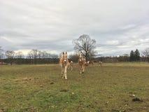 Άλογα Haflinger Στοκ φωτογραφία με δικαίωμα ελεύθερης χρήσης
