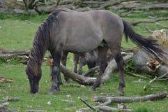 Άλογα Wilde Στοκ εικόνα με δικαίωμα ελεύθερης χρήσης