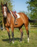 Άλογο έτοιμο για την οδήγηση Στοκ Εικόνες