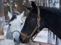 Άλογο αγάπης Στοκ Εικόνες