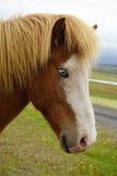 Άλογο γονιδίων παφλασμών με τα μπλε μάτια στοκ εικόνες