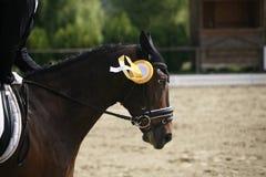 Άλογο εκπαίδευσης αλόγου σε περιστροφές νικητών που καλπάζει στη νίκη της τελετής με το unk της Στοκ Εικόνες