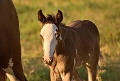Άλογο ελεύθερο σε έναν τομέα στην Αργεντινή Στοκ Εικόνες