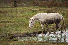 Άλογο ελεύθερο σε έναν τομέα στην Αργεντινή Στοκ Φωτογραφία