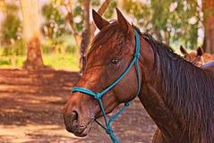 Άλογο ελεύθερο σε έναν τομέα στην Αργεντινή Στοκ Φωτογραφίες