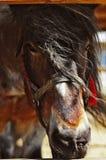άλογο ισχυρό Στοκ εικόνες με δικαίωμα ελεύθερης χρήσης