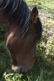 Άλογο κάστανων με το μαύρο Μάιν Στοκ φωτογραφία με δικαίωμα ελεύθερης χρήσης