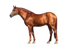 Άλογο κάστανων που απομονώνεται στο λευκό Στοκ Εικόνα